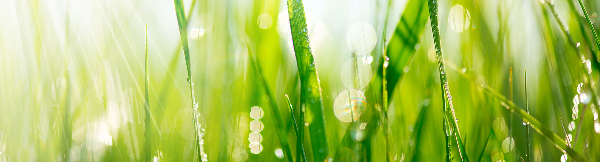 Blades of Grass with drops of water